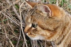 Un gatto di caccia Fotografie Stock Libere da Diritti