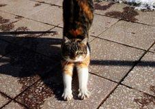 Un gatto di colore che allunga prima dell'attacco e del gioco Fotografia Stock