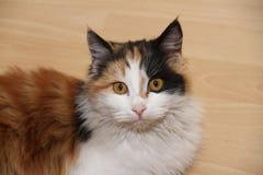 Un gatto di colore variopinto immagine stock libera da diritti