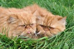 Un gatto di due colori rossi Fotografia Stock Libera da Diritti