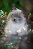 Un gatto di Ragdoll Fotografia Stock Libera da Diritti