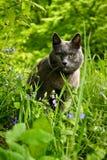 Un gatto di razza Fotografia Stock Libera da Diritti