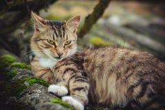 Un gatto di soriano colorato con uno sguardo fisso arrogante riposa su un vecchio tetto coperto di muschio immagine stock