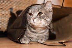 Un gatto di tabby si siede all'interno di un sacco di carta marrone Fotografia Stock