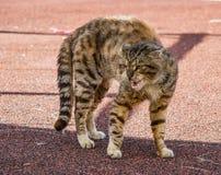 Un gatto di vicolo arrabbiato immagine stock libera da diritti