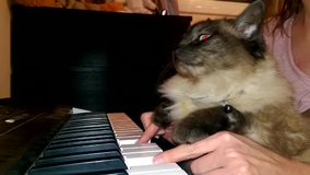 Un gatto divertente che gioca un piano, una tastiera, o un organo video d archivio