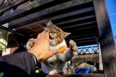 Un gatto domestico che salta sulla mano per un morso di scopo nella mia mano Un gatto variopinto con gli occhi verdi che giocano  fotografia stock libera da diritti