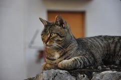 Un gatto domestico della tigre che posa ad un fotografo fotografie stock libere da diritti