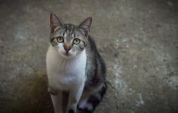 Un gatto domestico femminile che posa dentro all'aperto Immagine Stock Libera da Diritti