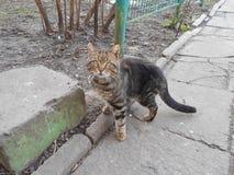 Un gatto domestico nell'iarda sulla pavimentazione Immagine Stock Libera da Diritti