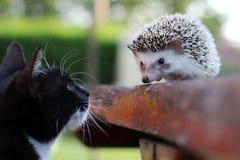 Un gatto e un amico dell'istrice fotografia stock