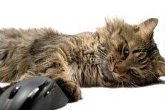 Un gatto ed il mouse del calcolatore su una priorità bassa bianca Fotografia Stock