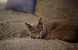 Un gatto fissare Fotografie Stock Libere da Diritti