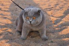 Un gatto fumoso enorme con gli occhi gialli e un collare fotografie stock libere da diritti