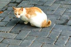 Un gatto giallo e bianco attento fotografia stock