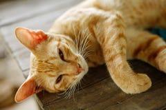 Un gatto giallo-siamese Fotografia Stock Libera da Diritti