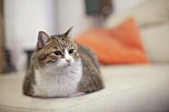 Un gatto grasso su un sofà Immagine Stock Libera da Diritti