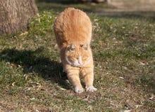Un gatto grasso sveglio recupera appena da un pelo Fotografia Stock