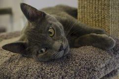 Un gatto grigio mette su uno scaffale del suo albero del gatto fotografia stock