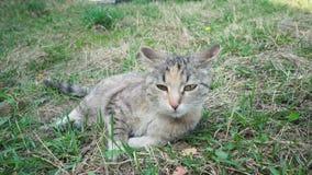 Un gatto grigio si trova sull'erba e prende un certo rumore e poi mette la sua testa sulla terra archivi video