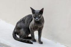 Un gatto grigio sta guardando Fotografie Stock Libere da Diritti