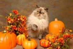 Un gatto HImalayan con i fiori e Pumkins di autunno Fotografia Stock Libera da Diritti