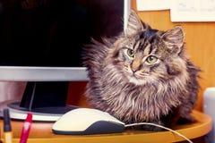Un gatto lanuginoso serio nell'ufficio vicino al computer ed al mou immagini stock libere da diritti