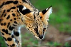 Un gatto molto sveglio del serval Fotografie Stock