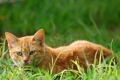 Un gatto nell'erba Immagine Stock Libera da Diritti
