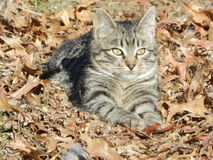 Un gatto nelle foglie Immagini Stock Libere da Diritti