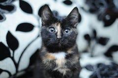 Un gatto nero con macchia beige Fotografia Stock