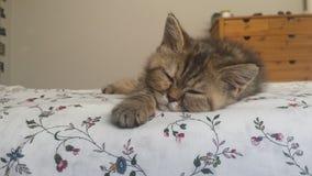 Un gatto persiano che riposa su un letto immagini stock