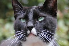 Un gatto persiano del blcack che guarda con i suoi occhi immagine stock