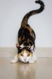 Un gatto pronto ad attaccare Immagine Stock