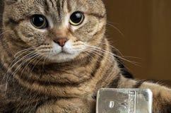 Un gatto ricco La testa del gatto vicino alla barra d'argento che pesa 500 grammi fotografia stock libera da diritti