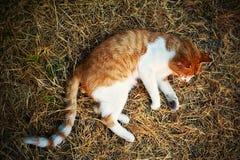 un gatto rossastro che callousing Immagini Stock Libere da Diritti