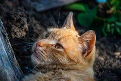 Un gatto rosso Fotografia Stock Libera da Diritti