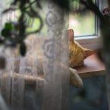 Un gatto rosso dell'azienda agricola che dorme sul davanzale della finestra che riposa dopo la preda di notte Immagine Stock
