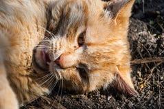 Un gatto rosso pericoloso Immagine Stock