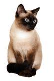 Un gatto siamese su un fondo bianco Fotografia Stock Libera da Diritti