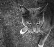 Un gatto sparato in bianco e nero Immagine Stock Libera da Diritti