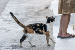 Un gatto sta elemosinando una donna Fotografie Stock Libere da Diritti