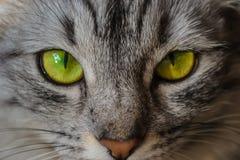Un gatto a strisce grigio con gli occhi verdi ed il naso arancio guarda intento lo sguardo magico fotografia stock