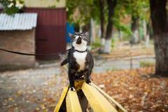 Un gatto su un guinzaglio che gioca sul banco di legno Fotografie Stock