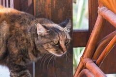 Un gatto sul vagare in cerca di preda Immagine Stock