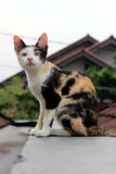 Un gatto sulla cima del tetto Fotografia Stock