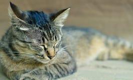 Un gatto sveglio della tigre Immagini Stock Libere da Diritti
