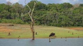 Un gaur che pasce su una sponda del fiume nel Kerala India stock footage