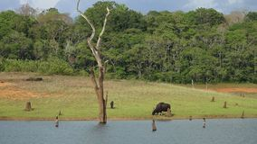 Un gaur frôlant sur une berge au Kerala Inde banque de vidéos