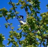 Un geai bleu #2 photos stock
